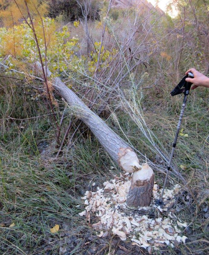 1007-IMG_2516-escalante-river-beaver